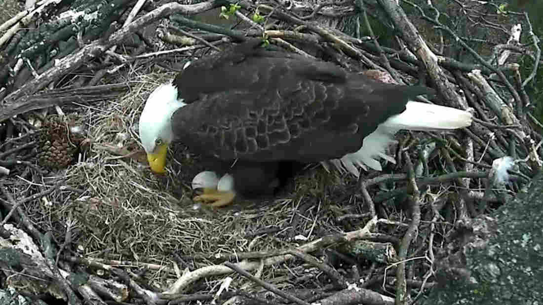 eagle-nest_wide-ecd6e8ba7de93a922a4da3166eb068ebdae02ec3-s1100-c15